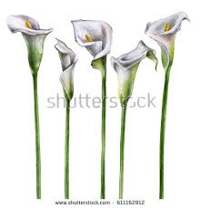 Calla Lily Flower Watercolor Calla Lily Flowers On White Stock Illustration