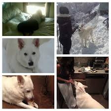 american eskimo dog forum sudden death of our 8 1 2 yr old gsd page 2 german shepherd