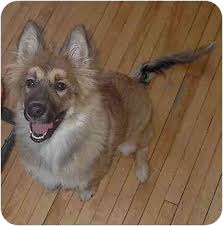 belgian shepherd quebec arabella adopted puppy baie d u0027urfe qc belgian tervuren