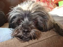 affenpinscher pics want entertaining pet choose an affenpinscher our dogs and us