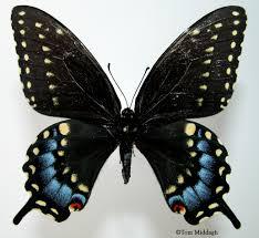 black swallowtail papilio polyxenes fabricius 1775 butterflies