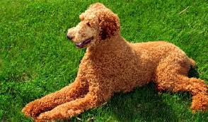 poodles long hair in winter poodles info and games