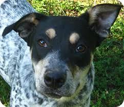 bluetick coonhound dog thelma adopted dog hillsboro oh australian cattle dog