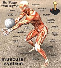 Full Body Muscle Anatomy Volleyball Anatomy Work These Muscles Volleyball Pinterest