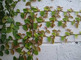 Vine House Plants Creeping Fig Vine Growing Creeping Fig In The Garden And Home