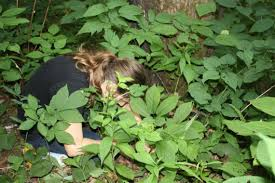 saving north carolina u0027s wild ginseng from poachers charlotte