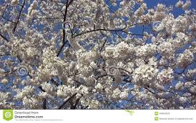 spring cherry blossoms stock video video 34944343