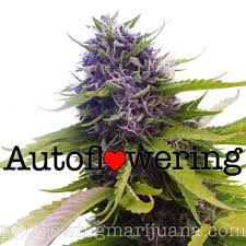 auto flowering seeds for sale the easiest way to grow weed us
