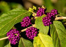 Free Images Blossom Fruit Berry Flower Purple Wild Bush