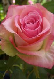 silk roses 12 confetti large spray two tone pink
