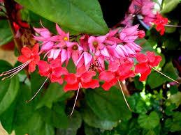 Fragrant Plants Florida Clerodendrum Speciosum Bleeding Heart Vine Java Red Tree