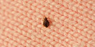 can you see bed bugs with a black light how to get rid of bedbugs fast best way to kill bed bugs