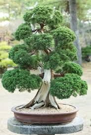 bonsai saule pleureur bonsaï bonsaï pinterest bonsaï bonzaï et plantes
