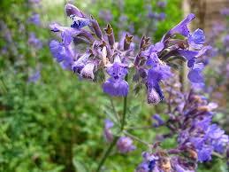 Catnip Flower - sagebud grow your garden plant a tree pot a flower sow a seed