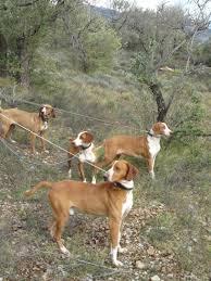afghan hound breeders qld posavac hound puppies puppy dog gallery