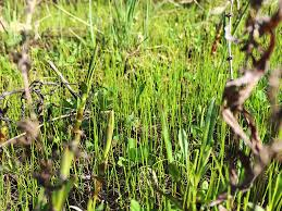 native grass plants native new england hair grass the planted tank forum