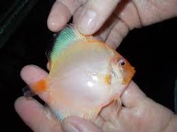 tropical aquarium freshwater fish tropical aquarium freshwater