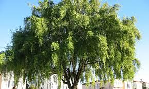evergreen trees louie s nursery garden center riverside ca
