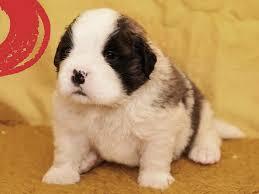 australian shepherd zu verkaufen duke bernhardiner puppy for sale euro puppy
