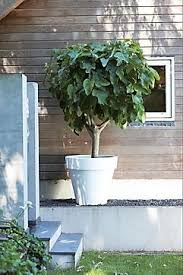 best 25 trees in pots ideas on potted trees large
