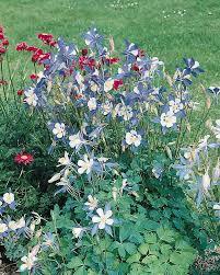 columbine plant columbine seeds 31 columbines perennial flower seeds