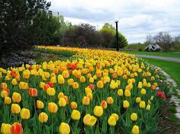 wallpaper bunga tulip gambar bunga tulip belanda indah cantik gambar kata kata