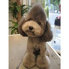 pictures of poodle haircuts poodle haircuts google search annie pinterest poodle
