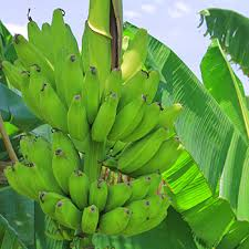 banana trees for sale fast growing trees