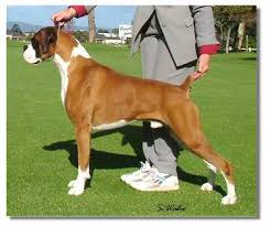1 year old boxer dog the side view