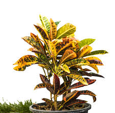 Croton Tropical Plant Croton Plant Care An Ultimate Guide Greener On The Inside