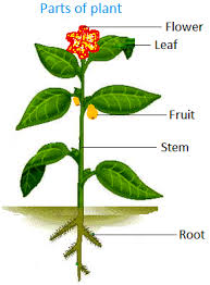 the main parts of most plants are roots stem leaf and flower