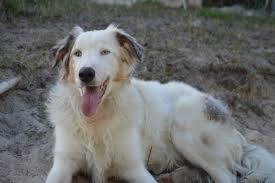 australian shepherd sheltie mix the dog liberator herding breed rescue including border collie