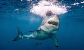 could ancient aztecs have held the secret to fending off shark