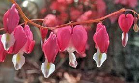 bleeding hearts flowers beautiful bleeding hearts for shade gardens