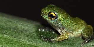 bbc earth rare bush frog breeds inside bamboo