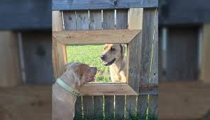 guy builds a fence window so his dogs can visit with their friend