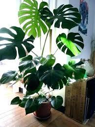 best low light indoor trees low light indoor trees indoor low light trees youtubeindir