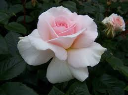Fragrant Rose Plants - austin roses bare root container english on sale now heirloom