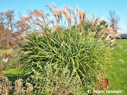 how to cut back ornamental grasses