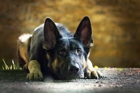 american eskimo dog odor why your dog smells like fish american kennel club