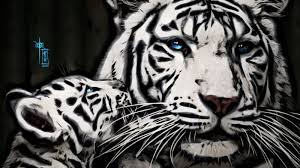 images of a white tiger with blue gendiswallpaper com