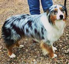 images of australian shepherd texas miniature australian shepherd stud dogs