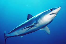 shortfin mako shark wikipedia