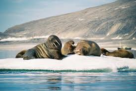 svalbard a place of polar bears brass bands and walruses with