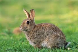cuisiner un lapin de garenne lièvres savoir reconnaître le lièvre commun pratique fr