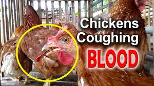 ilt symptoms in chickens infectious laryngotracheitis poultry