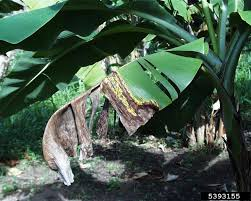 tiny musa banana tree banana tree problems what to do about banana tree insects and