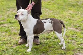 american pitbull terrier dog images american bulldog vs pitbull learn more about the history
