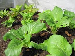 Fall Vegetable Garden Plants by Planting For A Fall Harvest Fall Vegetable Gardening Tips The