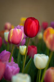 4296 best tulip images on pinterest flowers pretty flowers and